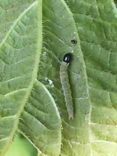 14、ワタノメイガの幼虫