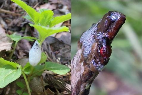 シロオビアワフキ(草の茎から栄養を吸う)
