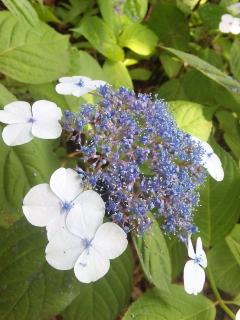 14、ヤマアジサイの花