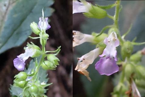 13、ツルニガクサの花