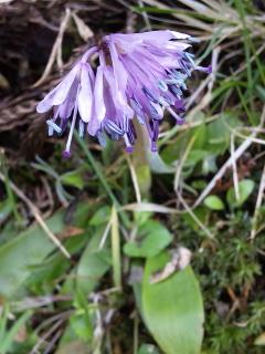6、ショウジョウバカマの花