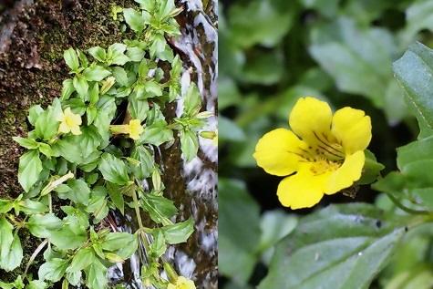 18、ミゾホオズキの花