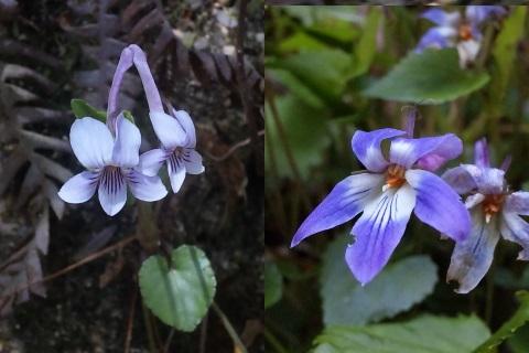 20、ナガハシスミレの花