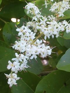 9、セイヨウイボタの花