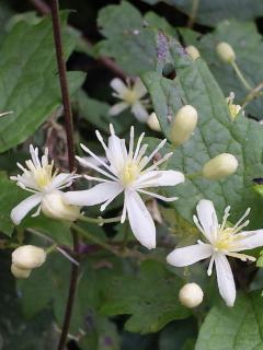 28、ボタンヅルの花