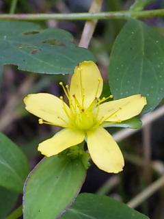 9、オトギリソウの花