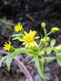 1、サワギクの花