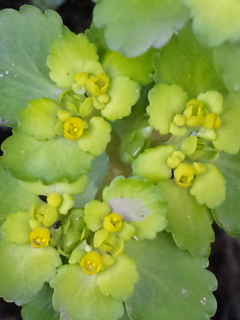 8、ネコノメソウの花
