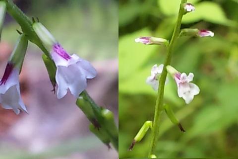 10、ハエドクソウの花