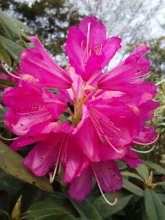 27、セイヨウシャクナゲの花