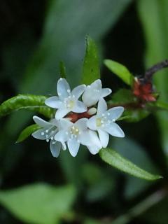 26、ヤマミゾソバの花