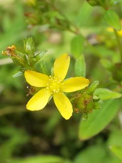 34、サワオトギリの花