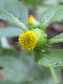41.ガンクビソウの花