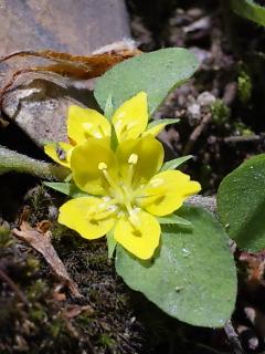 34、コナスビの花