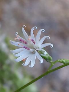 11月‐1、キッコウハグマの花