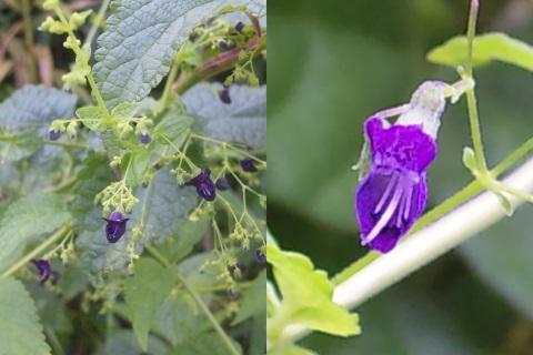 6、クロバナヒキオコシの花