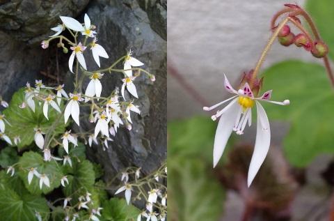3、ユキノシタの花
