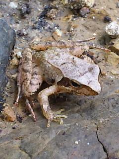 タゴガエル(喉に小さな斑紋がたくさんある)