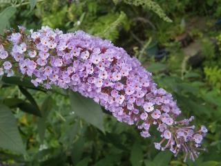 31、フサフジウツギの花