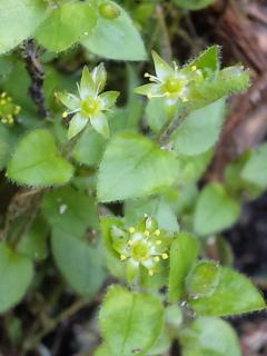 2、アオハコベの花