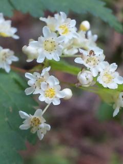 28、コゴメウツギの花