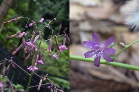 1、ムラサキニガナの花