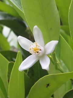 タチバナの花