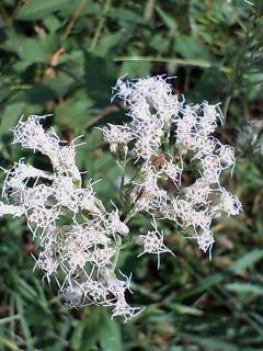 17、ヒヨドリバナの花