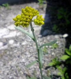6、ハハコグサの花