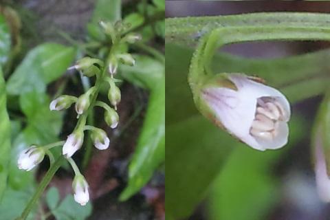 50、ギンレイカの花
