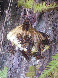 5、キボシアシナガバチ(近づきすぎ注意)