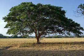 Kleine Öl-Kunde: Copaiba- ein wertvolles entzündungshemmendes Baumharz