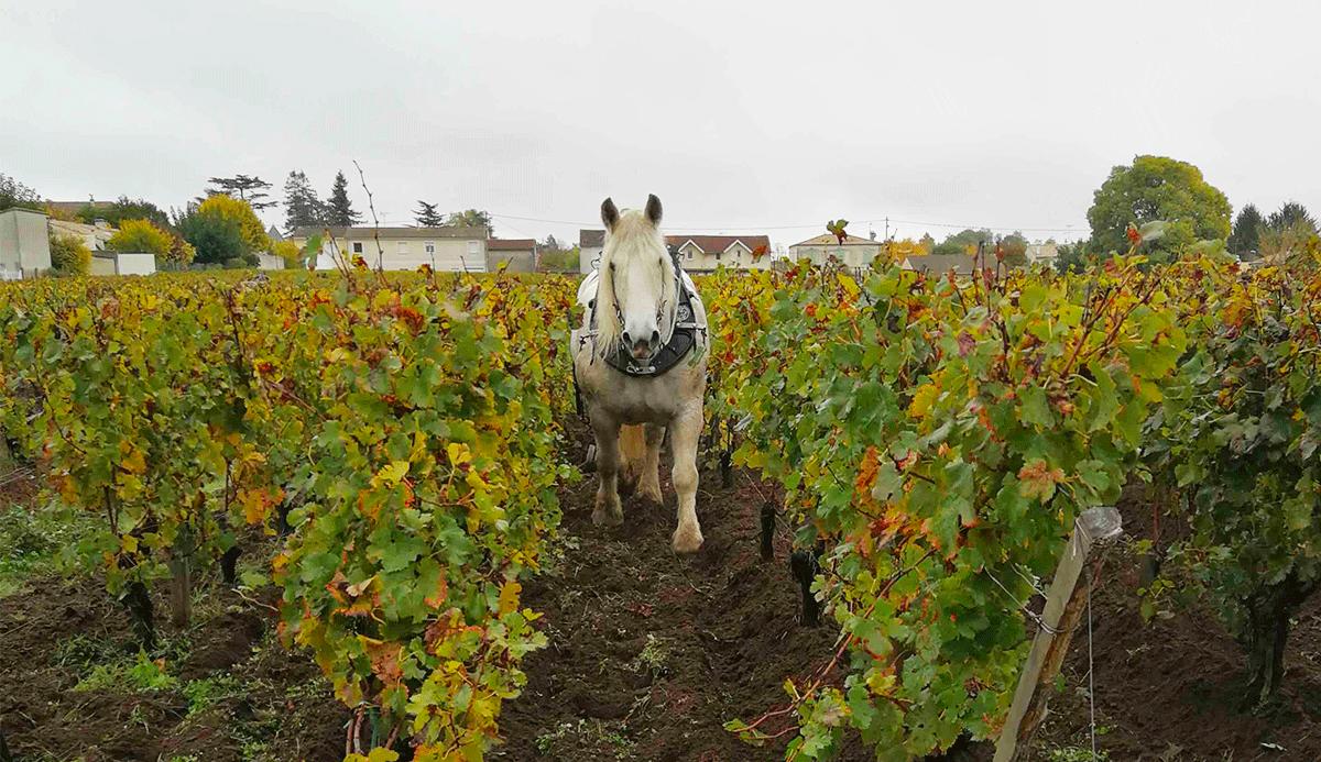 Labour des vieilles vignes avec le cheval
