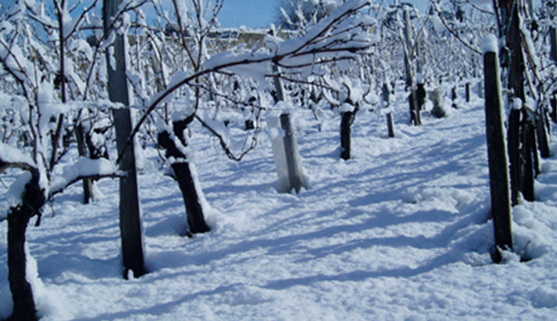 Vineyard in winter