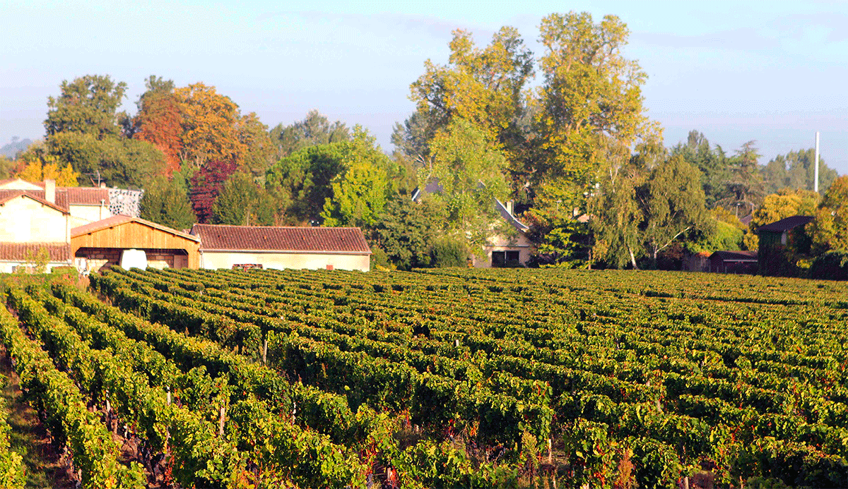 Vignoble en automne