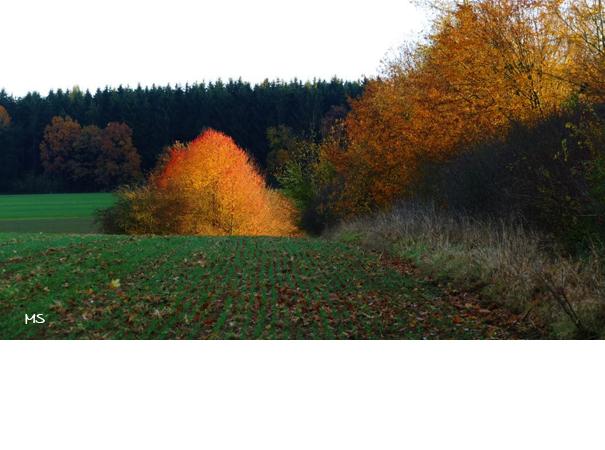 Kirschbaum oberhalb vom Hessental