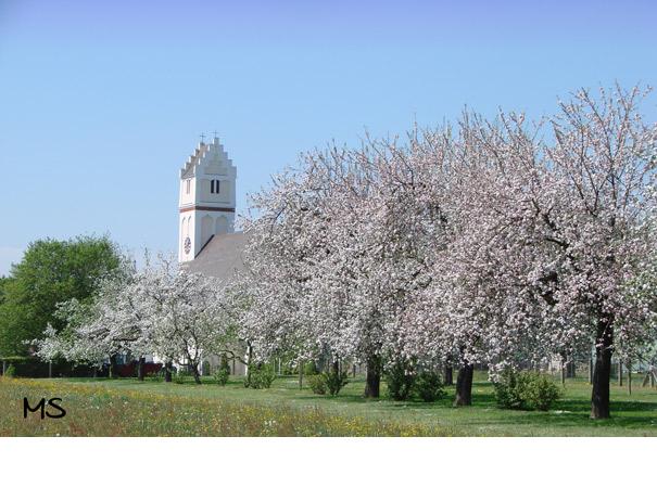 Obstbaumblüte vor der Steinberger Kirche