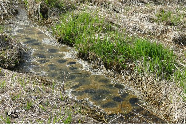 Ein Wassergraben vom Biber gegraben zum Laichen für den Grasfrosch (für weitere Informationen Bild anklicken)