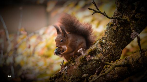 Eichhörnchen kommen im Herbst und Winter in den Garten