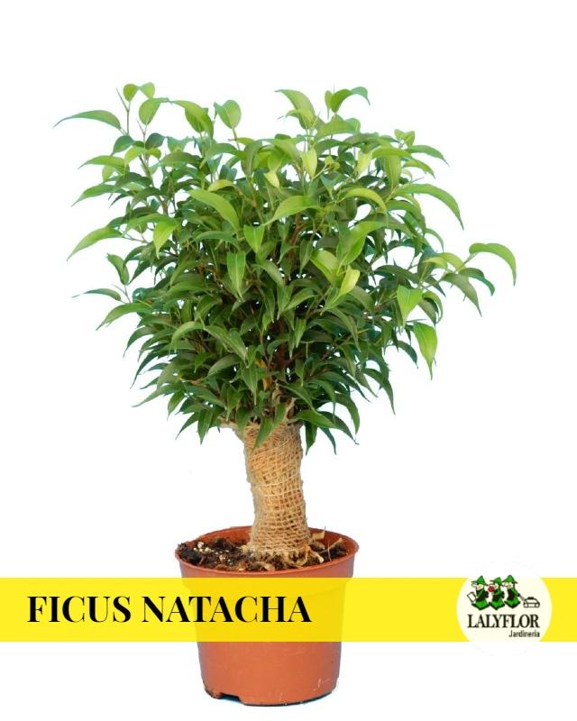 Ficus Natacha en Tenerife