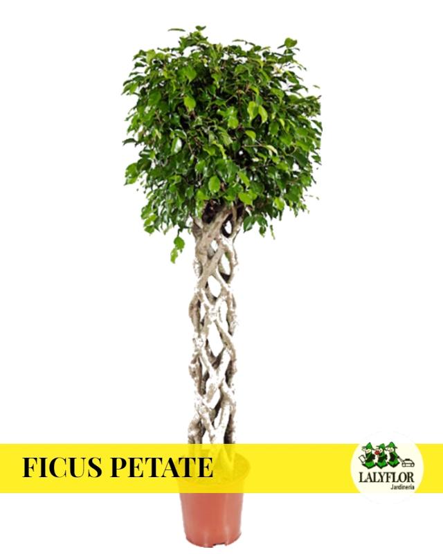 Ficus Petate en Tenerife