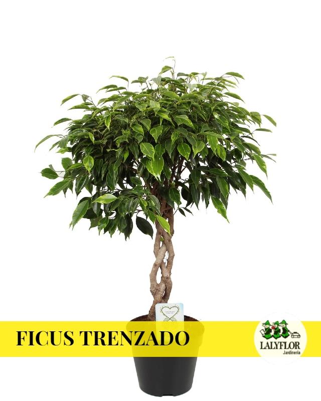 Ficus trenzado en Tenerife