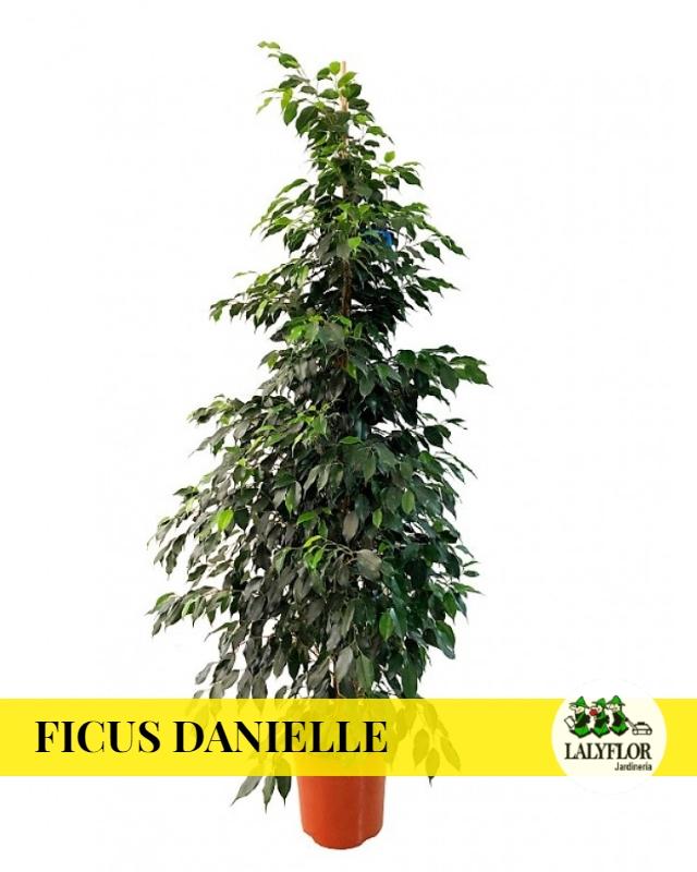 Ficus Danielle en Tenerife