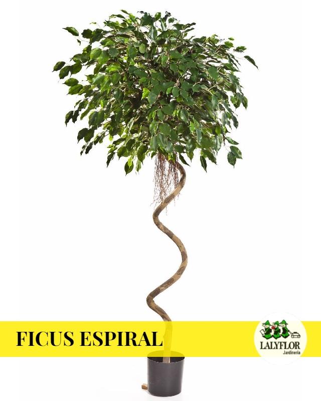 Ficus Espiral en Tenerife