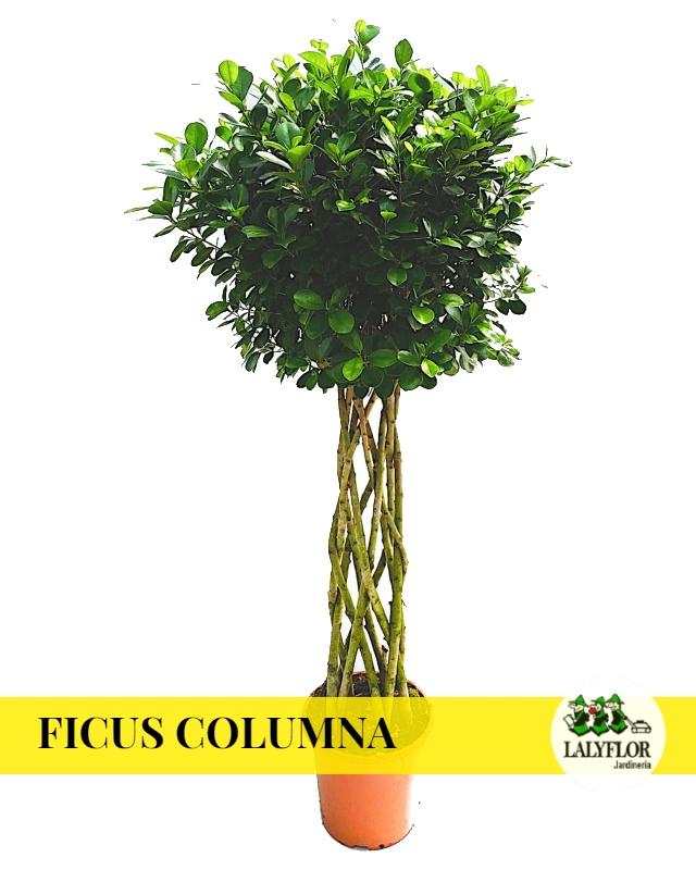 Ficus Columna en Tenerife
