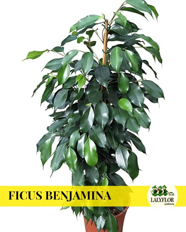 Ficus Benjamina en Tenerife