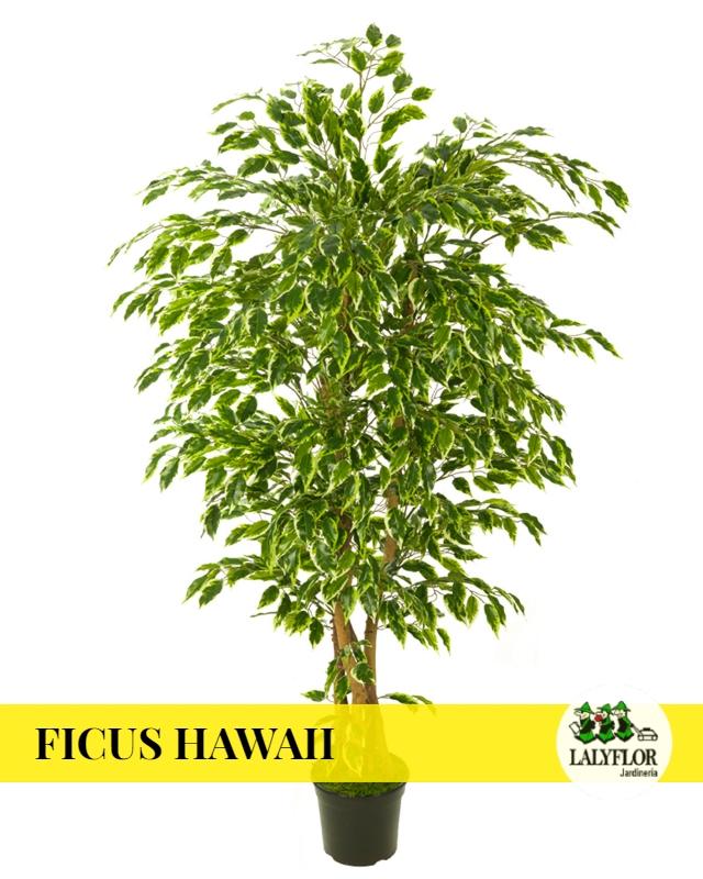 Ficus Hawaii en Tenerife