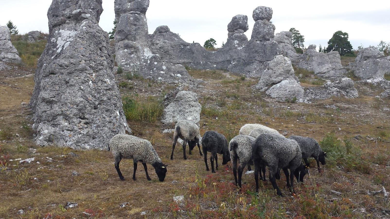 Gotlandschafe bei den Raukefelsen , Gotland, irrlichtjaeger