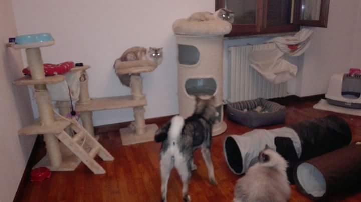Shuuko e i suoi amici main coon
