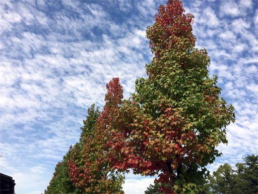 当店北にあります押小路通の並木が紅葉しだしました